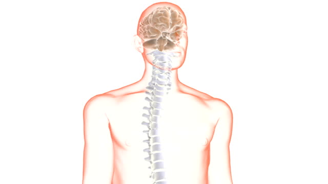 The animation begins with a view of the male torso then the camera pans right and the brain and spinal column appear.