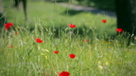 The Appian way in Rome: spring poppies bloom