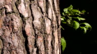 The bark of a pine closeup. Hand touches tree trunk.