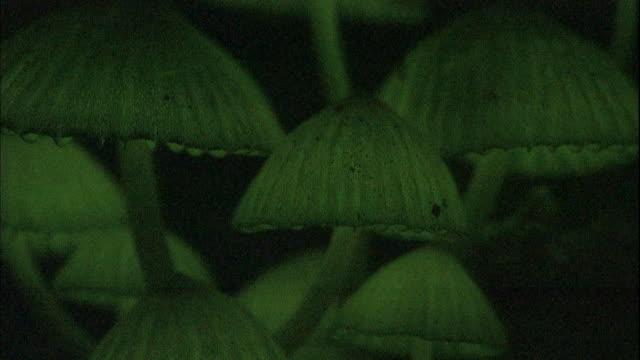 the bioluminescent Mycena lux-coeli mushrooms cast a green glow.