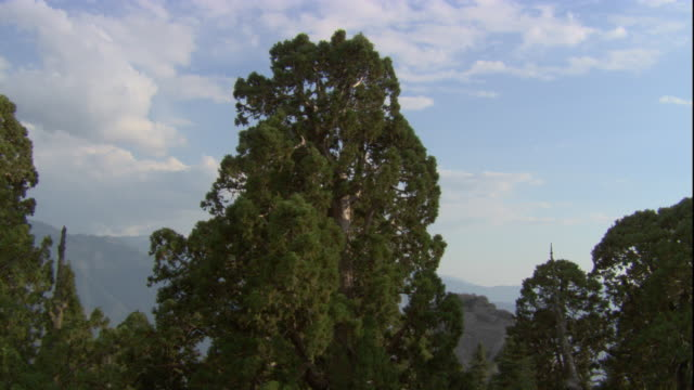The blue sky glows through the tops of tall redwood trees. Available in HD.