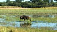 The blue wildebeest in water