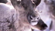 The breath of a reindeer condenses in the cold Siberian air. Available in HD