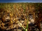 The camera pans over cornfields that have been hit by drought
