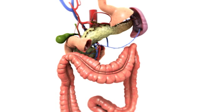 The camera zooms in on the digestive system with the stomach and small intestines removed. As the camera zooms in to the pancreas and surrounding blood vessels, the rest of the organs fade out.