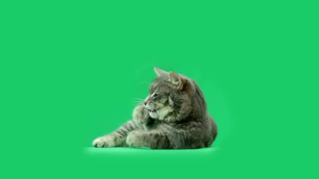 Il gatto è mangiare qualcosa