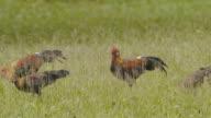 The chicks thai