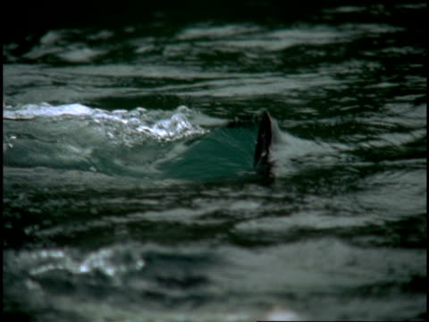 The dorsal fin of a salmon shark submerges.