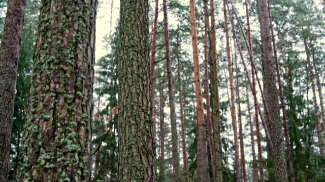 The down-to-up panoramic video of the winter pine's forest