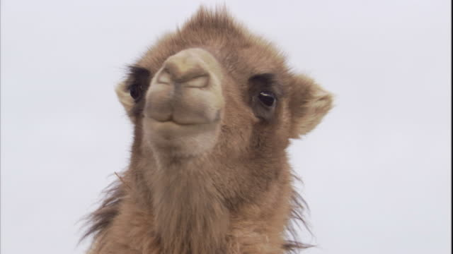 The face of bactrian camel, Gobi Desert, Mongolia. Available in HD.