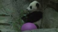 The giant panda cub of Washington's National Zoo Bao Bao treasure or precious in Mandarin will make its first public appearance this Saturday in...