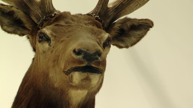 The head of a stuff deer hangs on  the wall