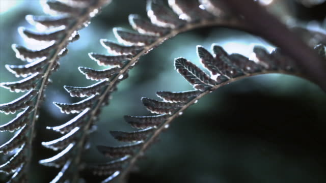 The leaves of a fern plant release spores in a gentle breeze. Available in HD.
