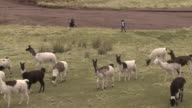 The llama camelid of the Andes has been celebrated for its wool and used as a beast of burden
