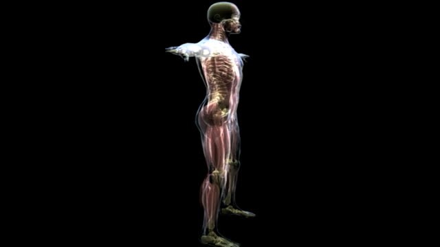 The male musculoskeletal system is shown rotating 360 degrees in a transparent male body.