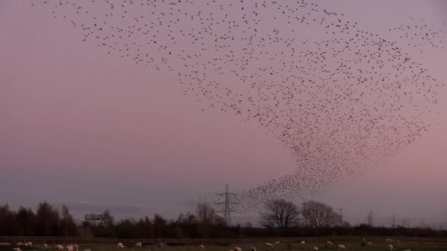 The moment thousands of starlings gathered together to perform a spectacular murmuration has been caught on camera The dazzling performance took...