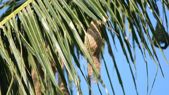 het nest van de vogel Aziatische Golden Weaver.