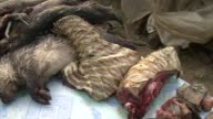 The pangolin a small scaly anteater is one of the most frequent victims of poaching in Gabon
