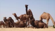 The Pushkar Fair or Pushkar Cattle Fair is an annual camel and livestock fair held in the town of Pushkar Rajasthan and is one of the world's largest...
