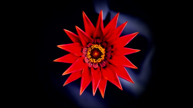 The red flower of the gazania opens