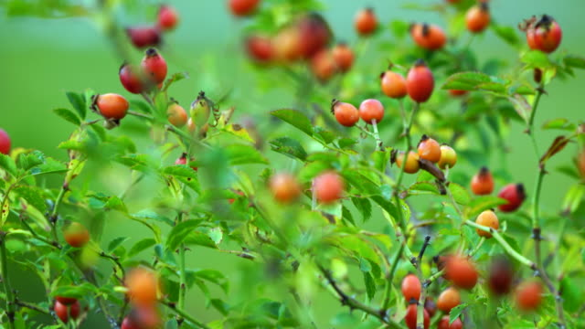 The rose hip, also known as rose haw or rose hep