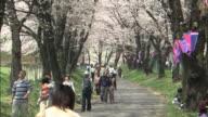 The Sen-bon Zakura(1,003 Cherry trees) in Gunma