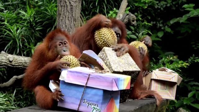 The Singapore Zoo celebrates its 44th birthday with a durian feast for its orangutan family who are seen as mascots of the park