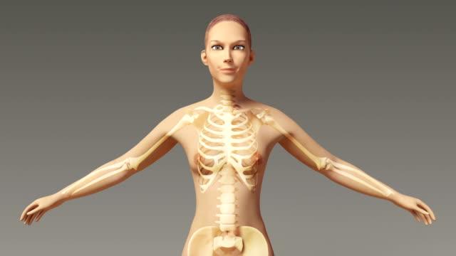 Torso Bone Anatomy The Skeletal System Of...