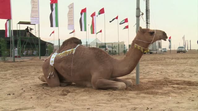 The Sultan Bin Zayed Heritage Festival which runs from February 1 to 15 in the United Arab Emirates aims to protect native camel breeds and promote...