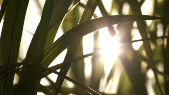 The sun shines through sugar cane leaves Available in HD.