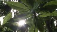 The sun shines through thick forest foliage. Available in HD.