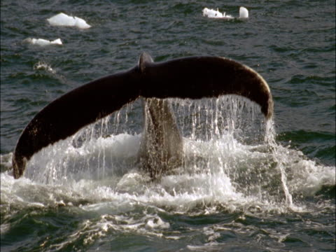 The tail of a diving humpback whale disappears into Antarctic waters.