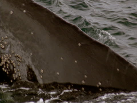 The tail of a humpback whale submerges under Antarctic waters.