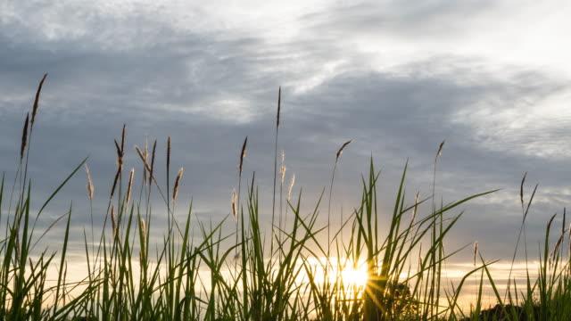 Das hohe Grass in den Strahlen des Sonnenuntergangs.