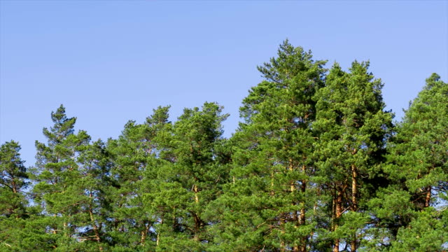 The tops of pines are swaying from strong winds.