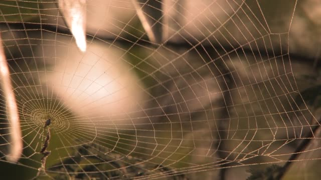 The web of a golden silk orb-weaver blows in a breeze. Available in HD.
