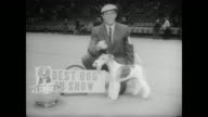 The Westminster Kennel Club holds its annual dog show at Madison Square Garden / contestants groomed and trimmed by their owners / large crowd...