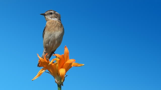 The Whinchat on a Flower