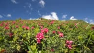 The Wind Blows on red flowers in the mountain