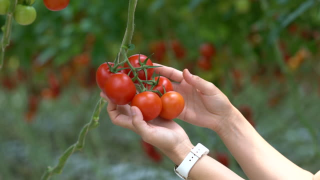 The workers are collecting tomatoes