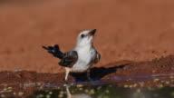 Thirsty Scissor Tailed Flycatcher