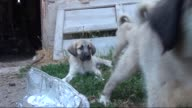 This video shows the SivasKangal shepherd puppies in Sivas and their owner recommend that kangal puppies should be bought except winter seasons due...