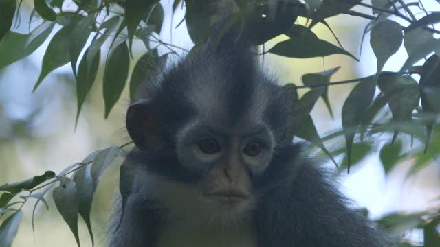 CU Thomas leaf monkey / Bukit Lawang, North Sumatra, Indonesia