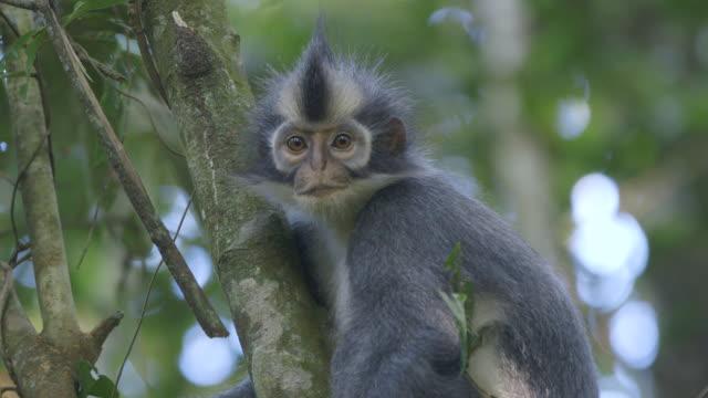 MS Thomas leaf monkey / Bukit Lawang, North Sumatra, Indonesia