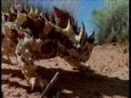 Thorny devil eats ants in desert
