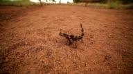 Thorny devil, Northern Territory, Australia