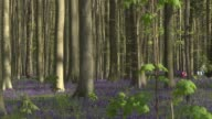 Thousands of bluebells blanket Belgium's fairytale forest but face being trampled by an evergrowing number of tourists