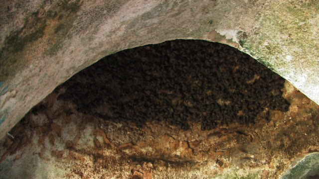 Thousands of fruit bats (family Pteropodidae) on cave ceiling and flying, Israel