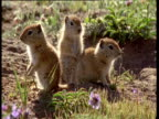 Three baby Belding's ground squirrel, two dive back into hole, Montana