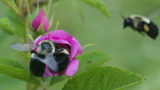 Three bumble bees scuffle over swamp rose, high speed